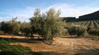Olive oil and Wine Tour from Cordoba
