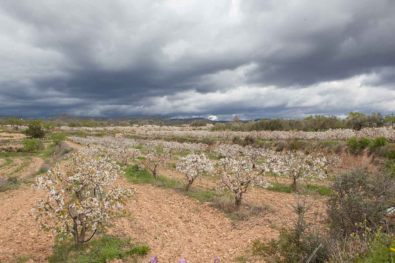 Priorat - the blossom of Almond trees in february
